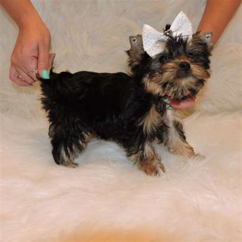 how much do teacup yorkies weigh teacup yorkie weight hairstylegalleries