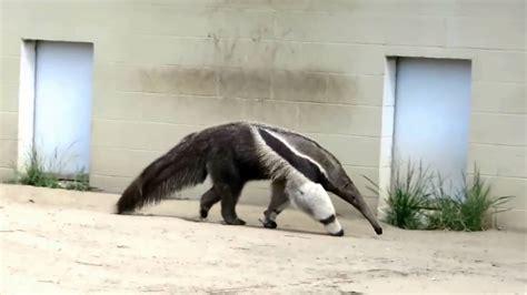 giant anteater   zoo youtube