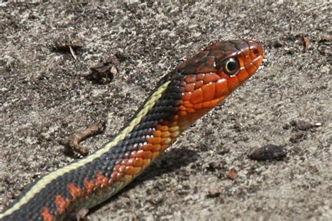 Garter Snake Oregon by Thamnophis Sirtalis Concinnus The Oregon Spotted