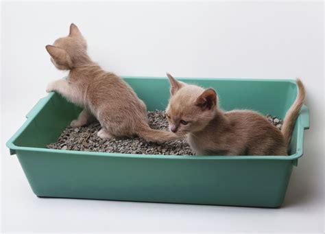 where do newborn kittens go to the bathroom litter box training for your new kitten