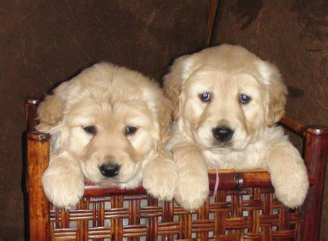 golden retriever puppies in mn gold puppies golden retriever puppies in minnesota