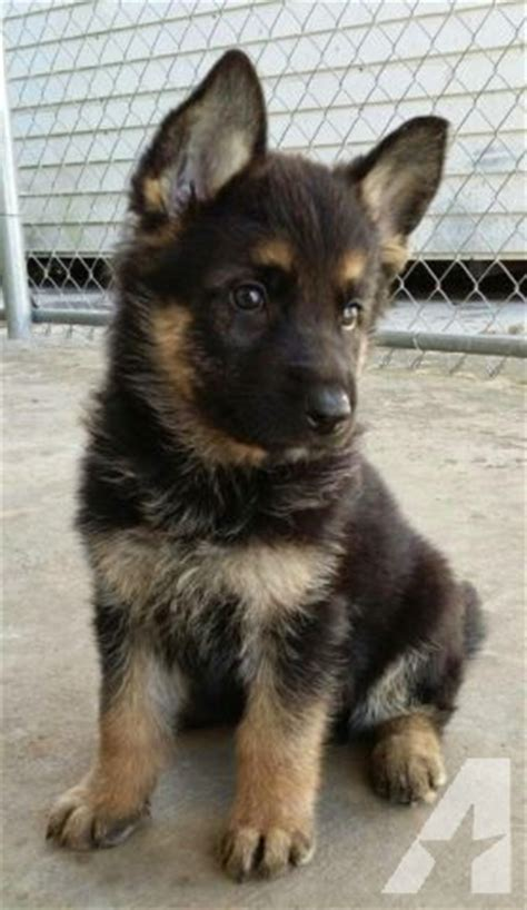 german shepherd puppies for sale in miami german shepherd puppies for sale in miami florida classified americanlisted