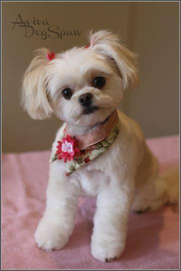 asian fusion maltese haircut asian fusion style on shih cross dog groomer in coquitlam