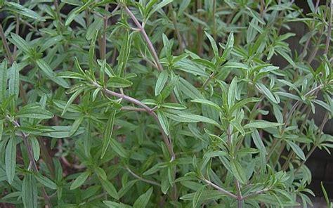 santoreggia in cucina santoreggia o satureja hortensis propriet 224 terapeutiche e