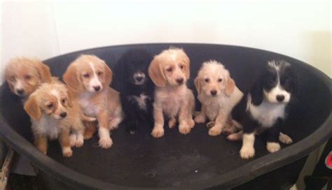 poogle puppies poogle puppies for sale beccles suffolk pets4homes