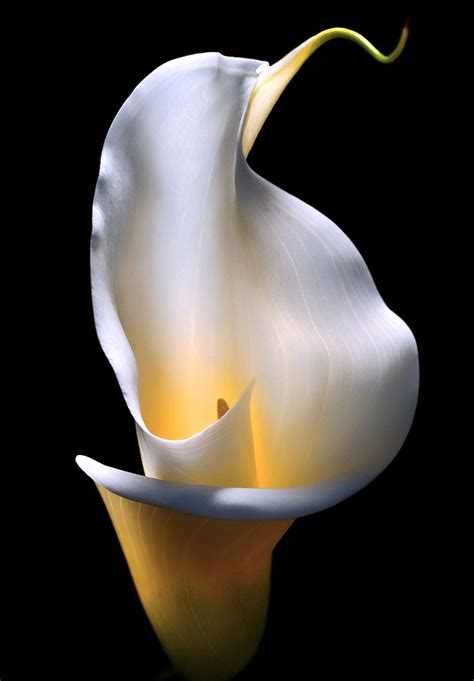 calla lily portrait madison indiana photography