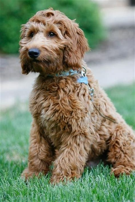 autism therapy dogs 28 best images about goldendoodle puppies on therapy dogs the o jays and i am