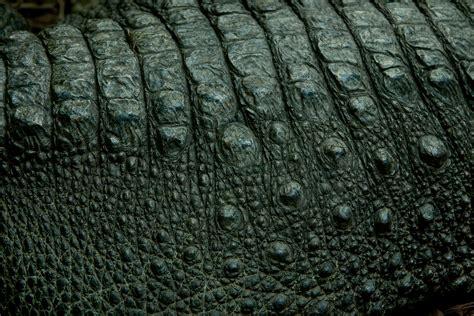 Alligator Skin the chopstick hammer thick skin