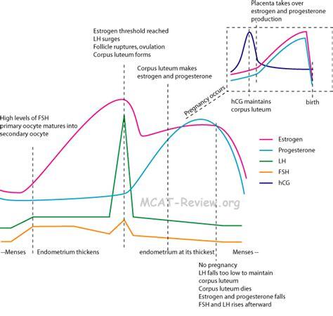 hormone cycle diagram placental hormones