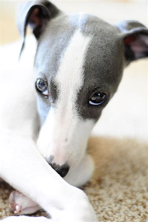 italian greyhound puppies italian greyhound and fluffy friends