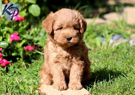 mini doodle breeders in pa 17 best ideas about labradoodle puppies on