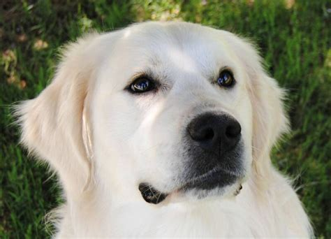golden retriever breeders in ireland european type light golden retrievers syrah goldens