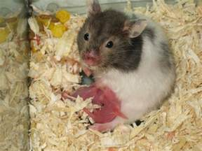 gina s place poor baby hamsters