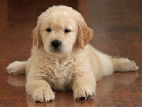 fluffy golden retriever 10 puppies oh those adorable puppies pictures images photos