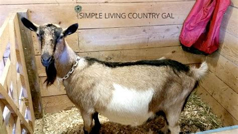 setting   birthing    goats simple living