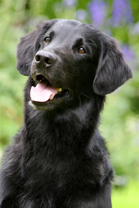 libro the flat coated retriever flatcoated retriever by sannas on