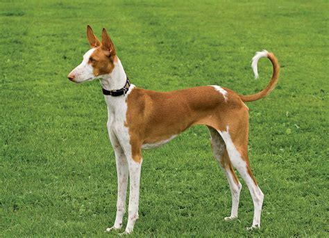 ibizan hound puppies for sale ibizan hound breed mypetzilla