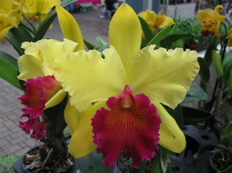 pin cattleya orchid care on pinterest