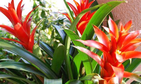 pianta grassa con fiore rosso inverno a colori coltiviamo le bromelie in casa fiori e