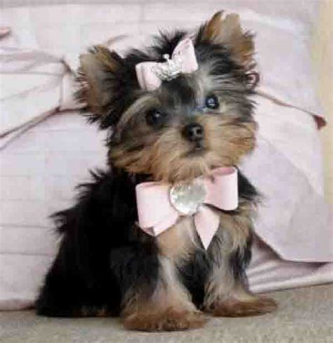 baby teacup yorkies animal facts yorkie puppies