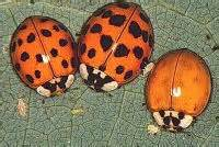 what color is a ladybug ladybug pictures lots of pictures of ladybugs and larvae