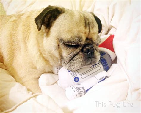 pugs gifts pug and molly open gifts this pug