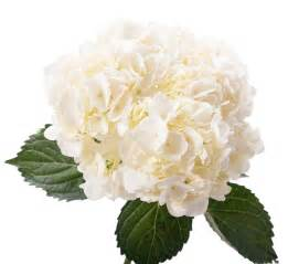 dutch flower auction direct blog the hydrangea