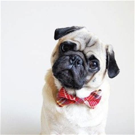 pug bow tie it s not every day you see a pug wearing a bow tie cuteness bow ties
