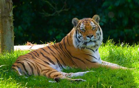google images zoo animals file panthera tigris banham zoo norfolk england 8a jpg