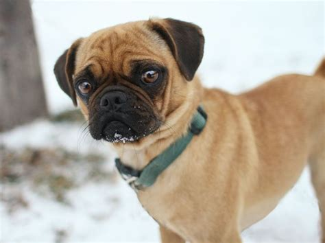 pug and boxer types of pug crossbreeds mini boxer pug mix pugs puggles pug mix