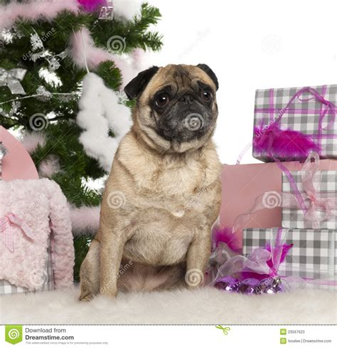 pug tree pug 4 years with tree and gifts stock photos image 23567623
