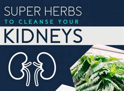 Herbs To Detox Your Kidneys by Herbs To Cleanse Your Kidneys Health Living