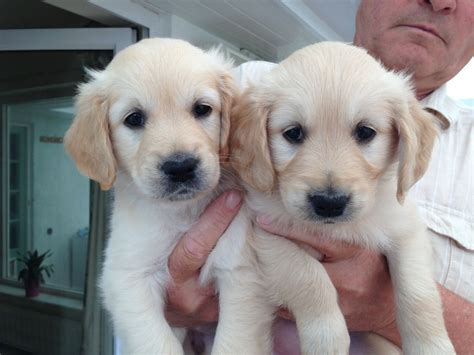 golden retriever puppies for sale white golden retriever puppies for sale uk breeds picture
