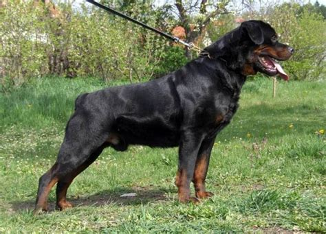 pictures of rottweilers puppies rottweiler pictures