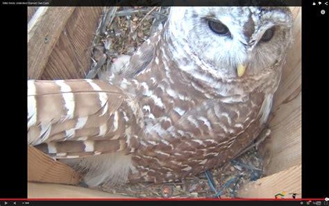 wbu barred owl cam wbu owls twitter