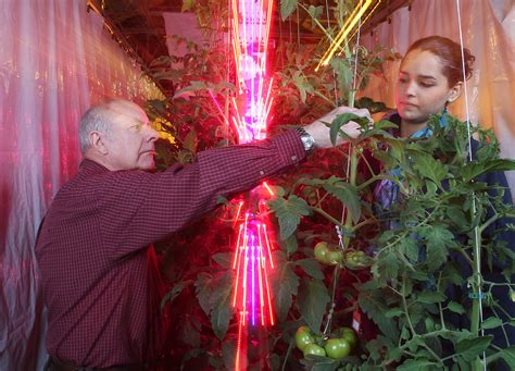 grow lights for tomatoes leds reduce costs for greenhouse tomato growers study
