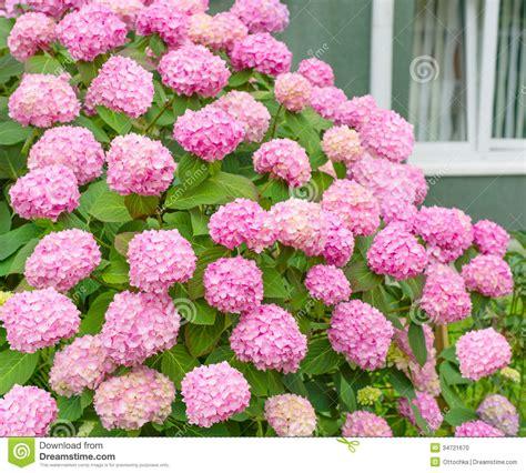 flowers pink hydrangea bush stock photo image 34721670