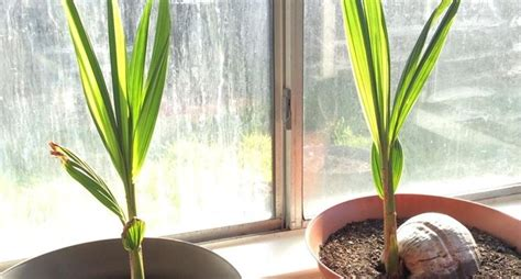 pianta di cocco da appartamento piante da appartamento piante da interno piante
