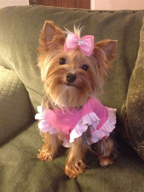 yorkie dressed up pin by nathan shoaf on animals