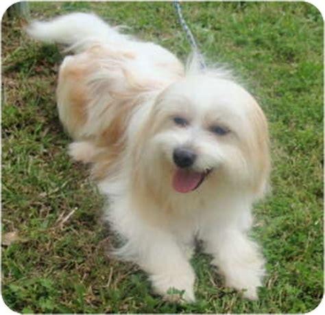 havanese terrier mix fonzi adopted fairmount ga havanese tibetan terrier mix