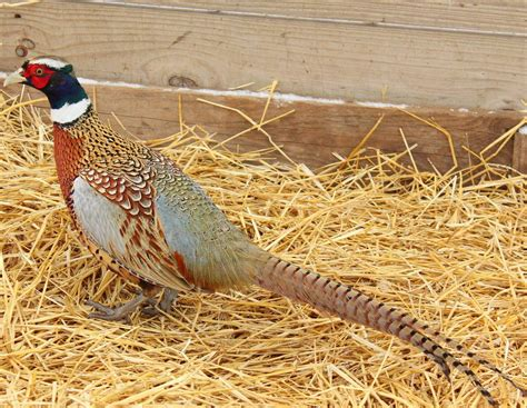 how to a for pheasant pheasant history and facts in the united states