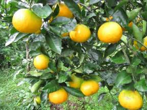 when do satsuma trees produce fruit 1000 images about abc s of rutaceae citrus on