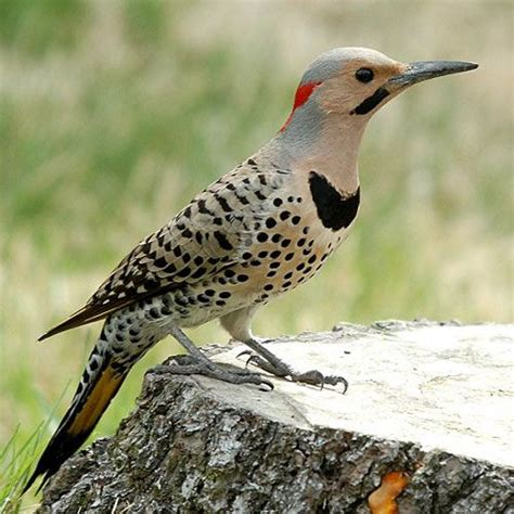 flicker birds pinterest