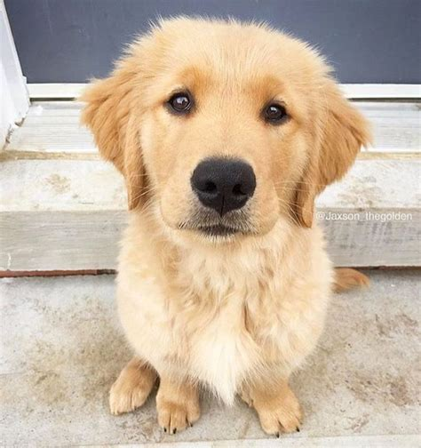 choosing a golden retriever puppy 5118 best images about golden retriever on puppys apps and charles
