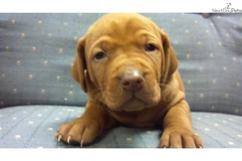 vizsla puppies iowa iowa premium vizsla breeders vizsla puppies for sale photo breeds picture