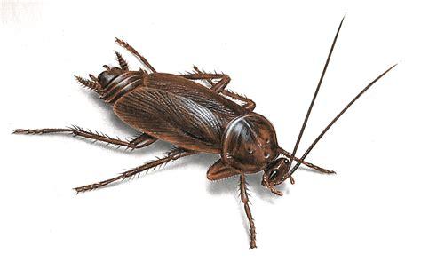 Kakerlaken Bilder cockroach pictures roach photos images