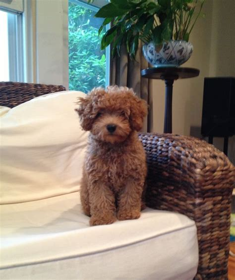 cavapoo puppies breeders 10 best cavapoo breeders images on cavapoo breeders cavapoo puppies and