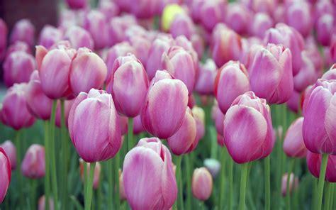 wallpaper pink tulip pink tulips wallpapers hd wallpapers id 10794