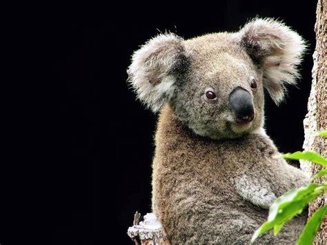 green koala wallpaper my free wallpapers nature wallpaper koala