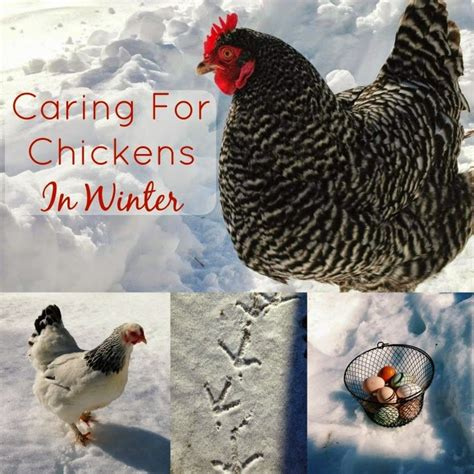 heat l for chickens in winter 1000 images about cold weather tips on pinterest cold